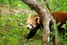 Red Panda is trough the Jungle in Nepal
