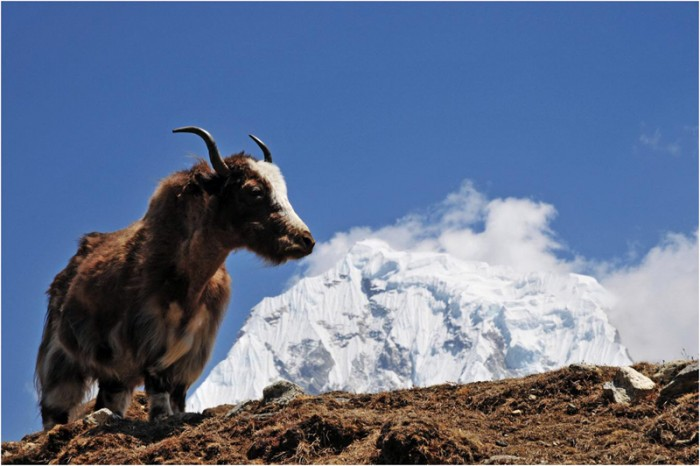 The wild Yak in-front of Mountains in Nepal